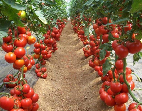 Sử dụng đèn led để nâng năng suất cho cây cà chua
