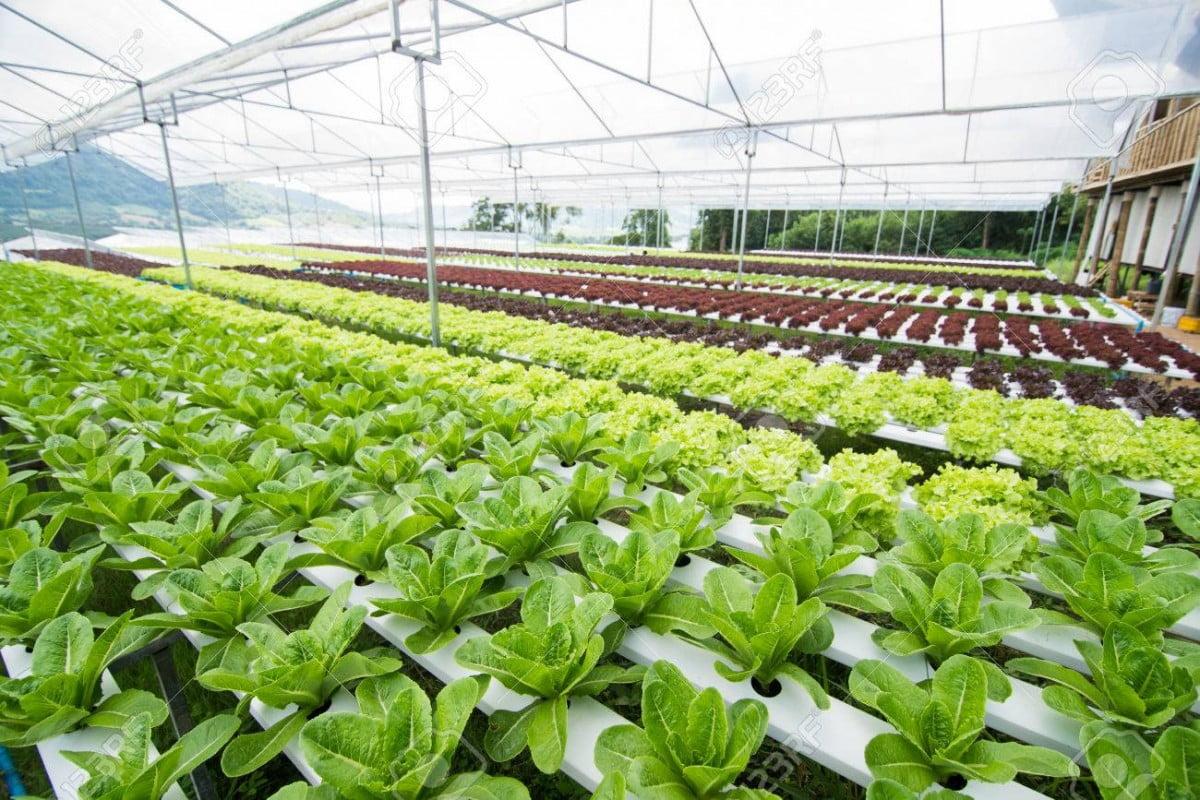 Trang trại rau diếp ở Nhật bản